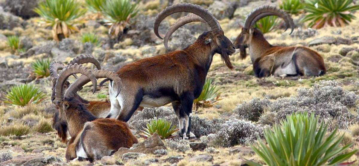walia-ibex-simien-mountains-ethiopia